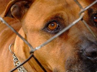 Déclaration de détention d'un chien  dangereux